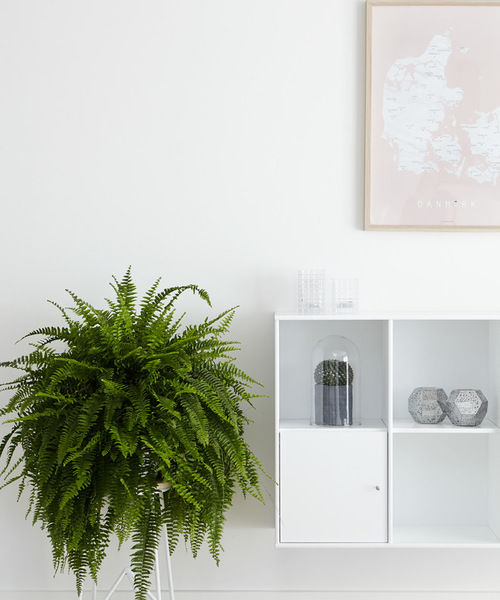 boston fern stltoday 1